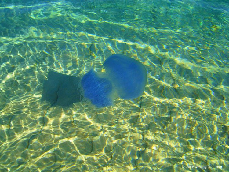 Marine life blue jellyfish in the Indian Ocean in Mozambique