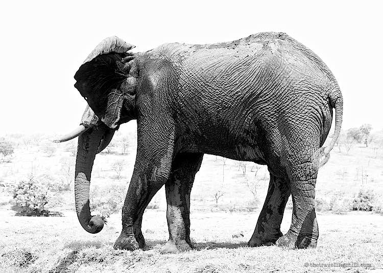 Male African elephant in Chobe National Park in Botswana