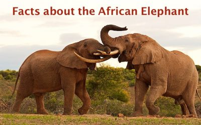 Interesting facts about the African Elephant
