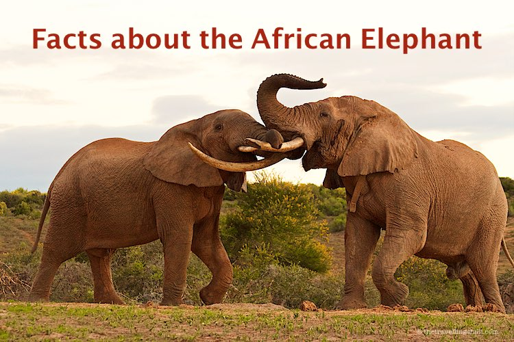 Interesting Facts about the African Elephant facts | Facts about African Elephants facts