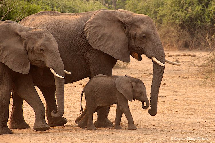 African elephants with baby in Chobe National Park in Botswana