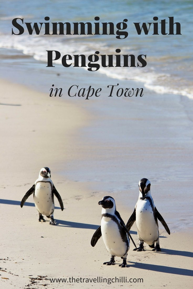 Swimming with penguins in Cape Town South Africa is possible in Boulders Beach on the Cape Peninsula. It's wonderful to see the African penguins so close to Cape Town in South Africa