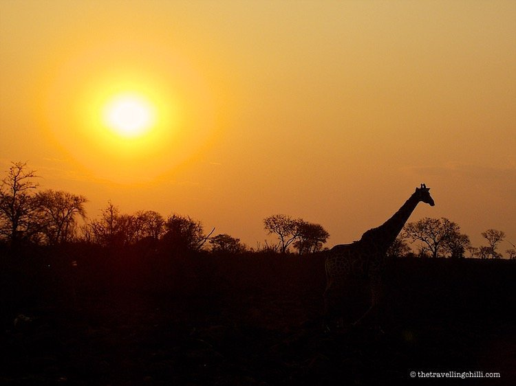 Silhouette of a giraffe in the sunset in Kruger National Park in South Africa