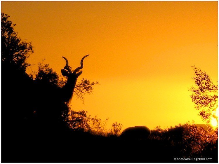 Sunset silhouette of a Kudu in Addo National Park in South Africa