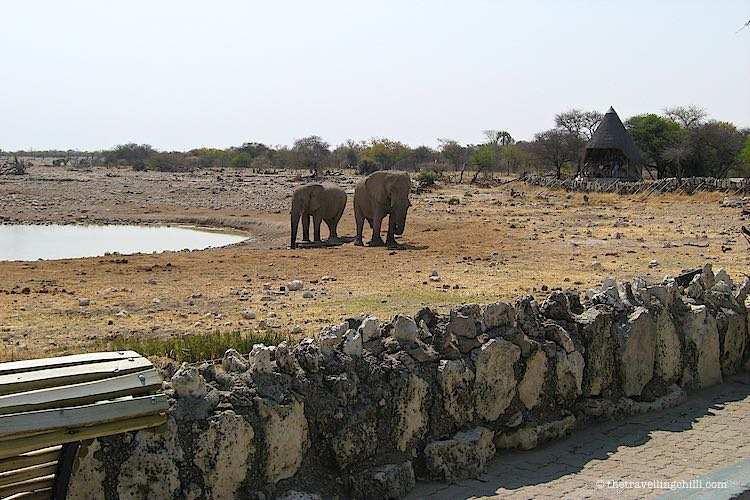 2 Elephants drinking at the waterhole in Okaukuejo restcamp in Etosha National PArk in Namibia