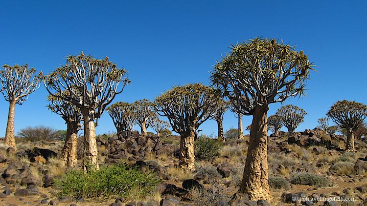Quiver Tree forest Namibia in Keetmanshoop | Kokerboom woud