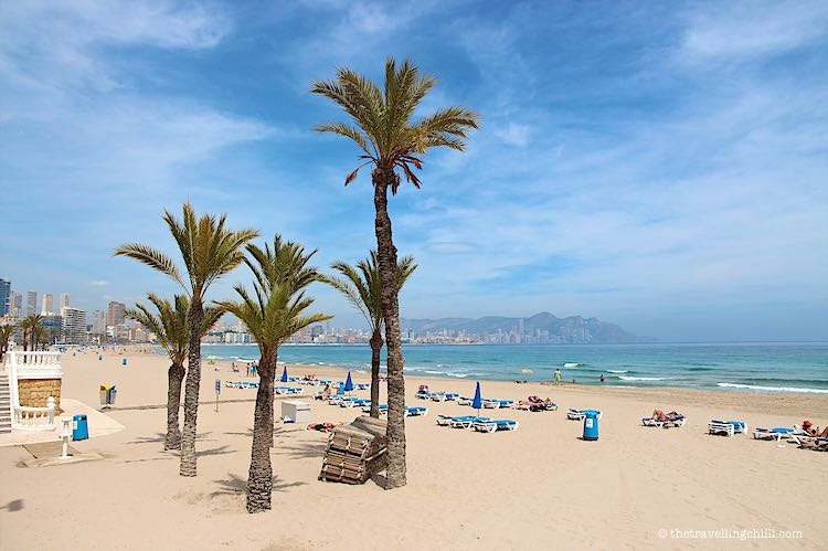 View of palm trees on the Playa Poniente beach with white sand and lounge chairs and Playa Levente beach in the distance in Benidorm Spain