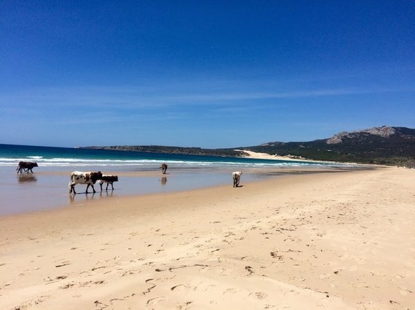 Playa de Bolonia beach in Cadiz Spain with cows on the beach