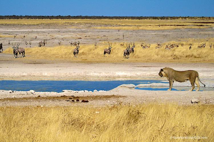 Lion at the waterhole in Etosha National Park in Namibia with Oryx