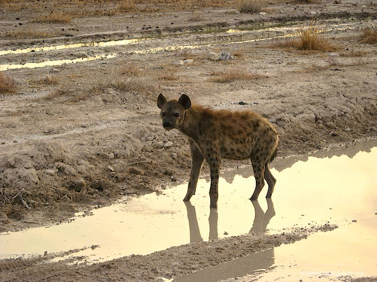Hyena playing in a water puddle in Etosha National Park in Namibia