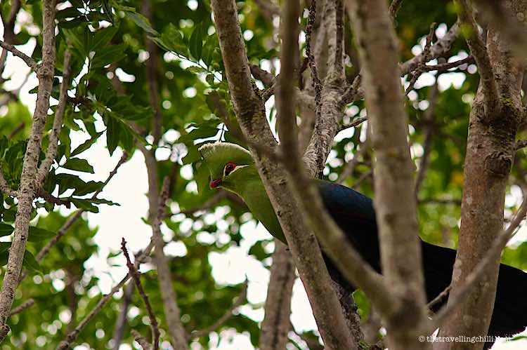 Knysna Lourie bird in the trees in Wilderness garden Route South Africa