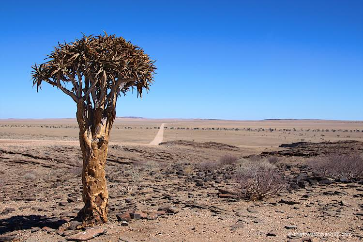 Quiver tree on the road between Sossusvlei and Walvisbay with landscape in Namibia