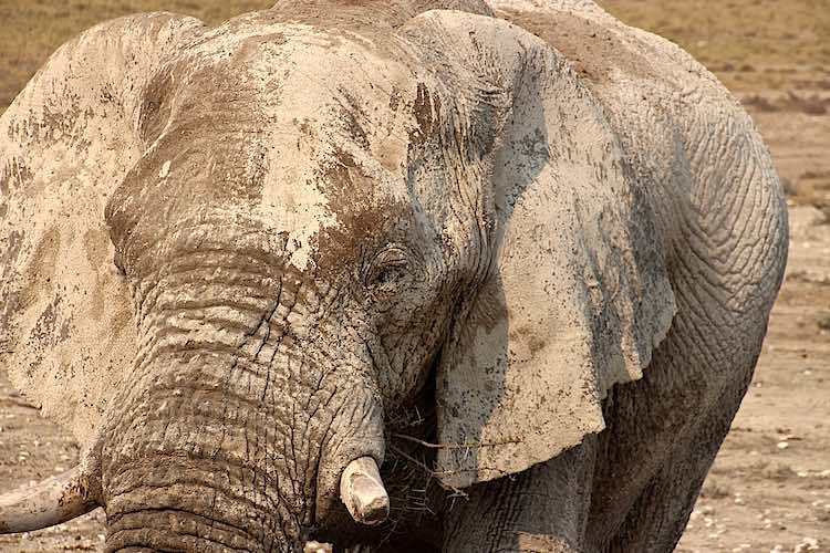 Close up of an African elephant in Etosha National Park Namibia