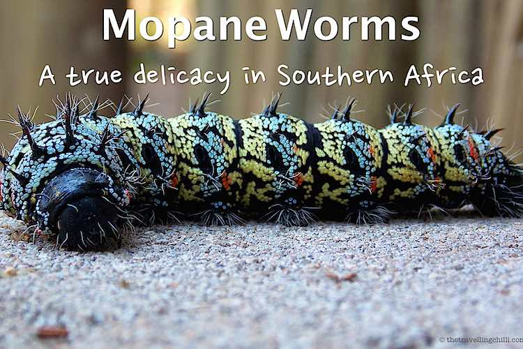 Mopane worms are very colourful laying on a concrete