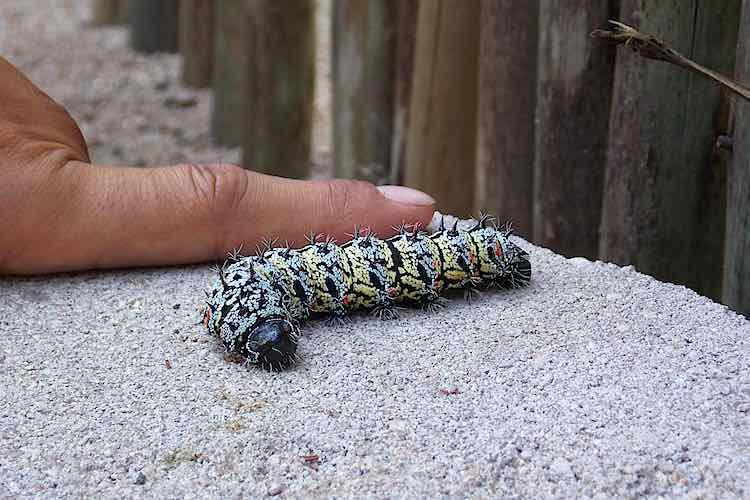 Measuring the Size of a mopane worm half a finger