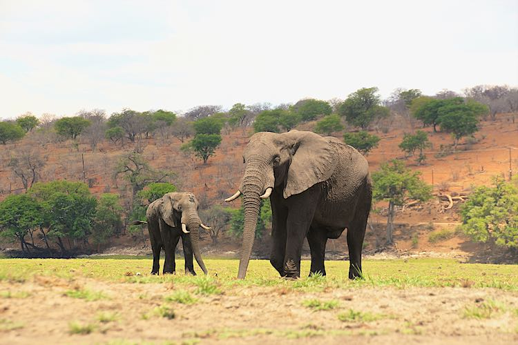 front view two african elephants in chobe botswana
