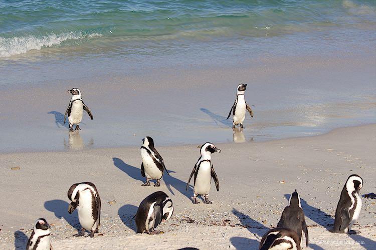 Jackass penguins in Boulders Beach Simon's Town Cape Town