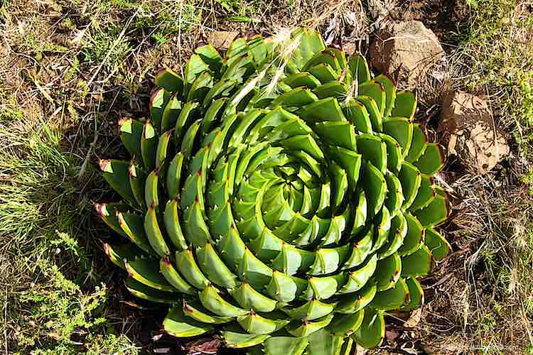 Spiral aloe is the national flower of Lesotho