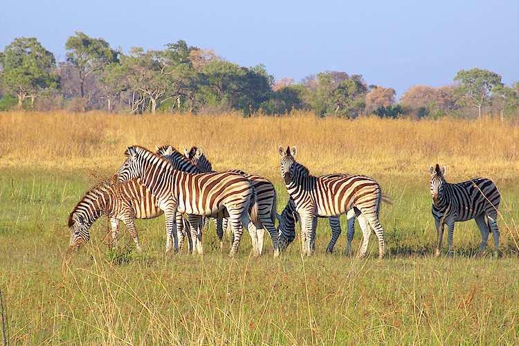Herd of zebra walking in the okavango delta in Botswana